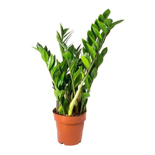 Picture of Zamioculcas Zamiifolia Indoor Plant